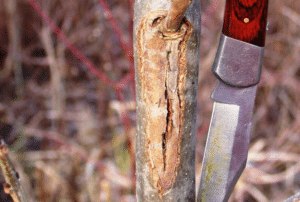 Lesion on young tree affected by ash dieback