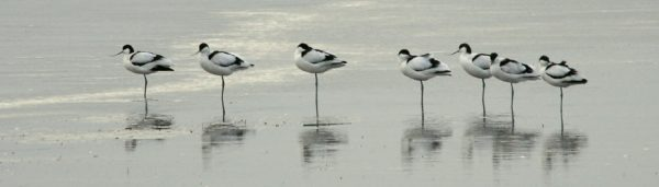 A group of Avocets standing in the water