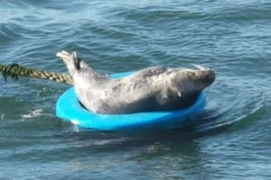 Seal lounging on a mooring