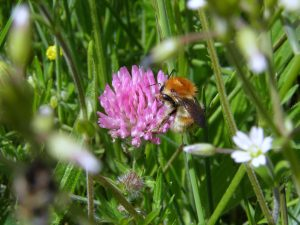 A photo of a brown banded carder bee