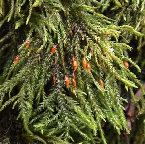 A photo of multi fruited river moss