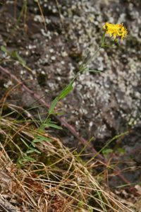 A photo of Toad-flaxed leaved St Johns wort