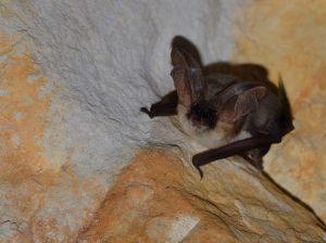 A photo of a grey long eared bat