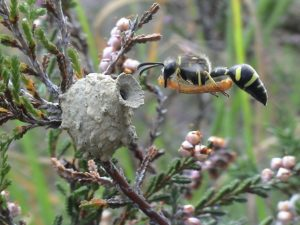 A photo of a heath potter wasp
