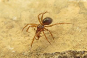 A photo of a horrid ground weaver spider