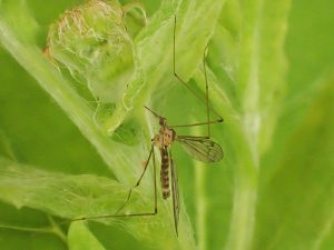 An image of a lagoonal sea snout cranefly