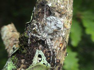A photo of a lichen running spider