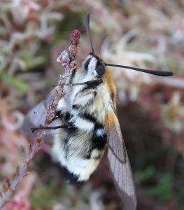 A photo of a narrow bordered bee hawk moth
