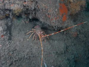 A photo of a spiny lobster