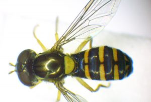 A photo of a Totem Hoverfly