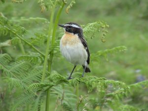 A photo of a whinchat
