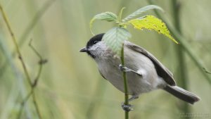 A photo of a willow tit