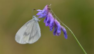 A photo of a wood white