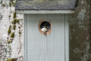 Two swifts sticking their head out of a nest box